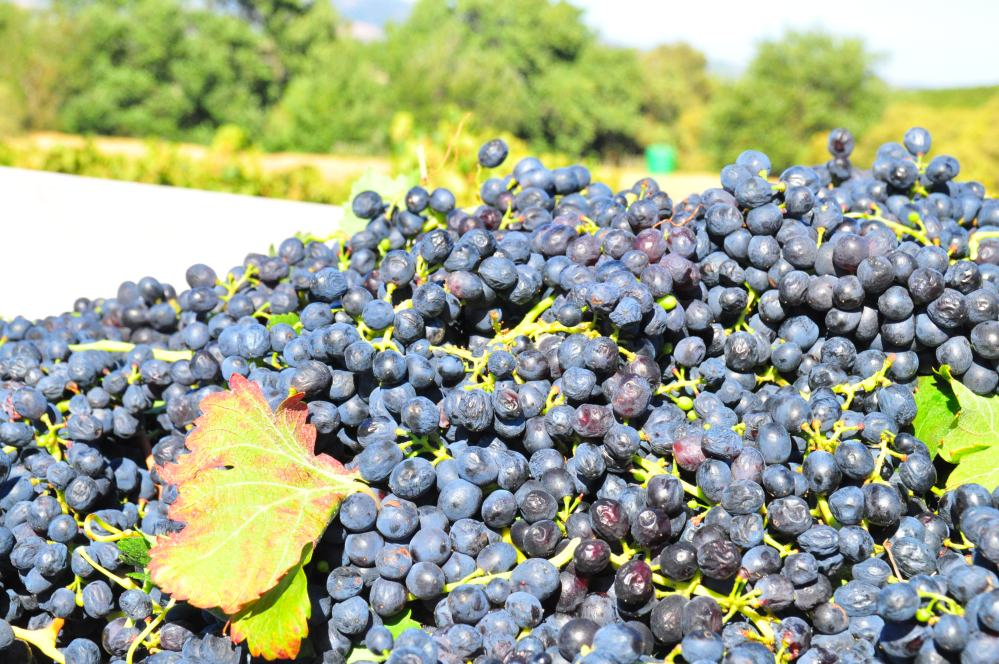 Grapes for Fairtrade Wine