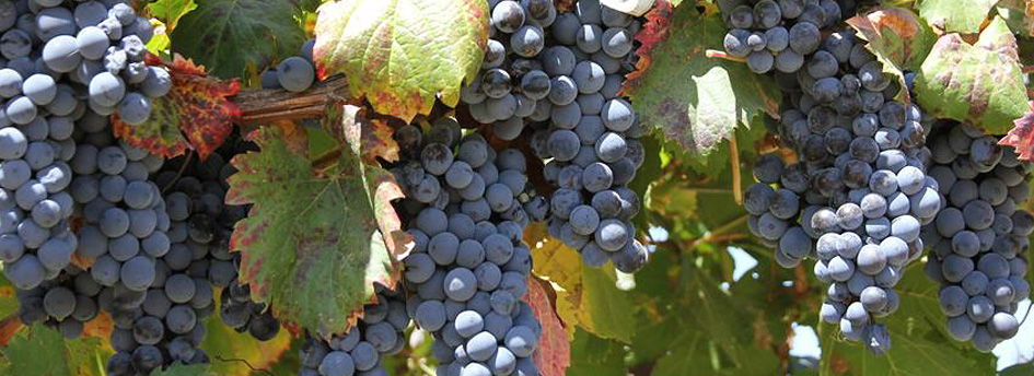 Grapes to represent Fairtrade Wine from The Co-operative